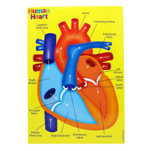 Human Heart Foam Puzzle