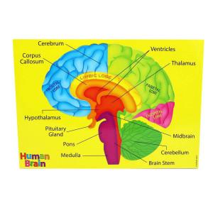 Human Brain Foam Puzzle