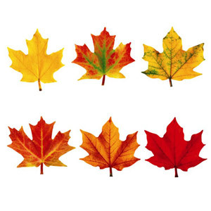 Maple Leaves Cut-Outs