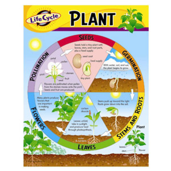 Life Cycle Of A Plant Poster